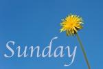 Sunday dandelion